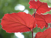 Red Leaves with Bokeh Royalty Free Stock Image