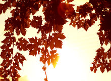 Red leaves border. Image of autumnal grape red leaves border, beautiful natural brown frame with white text space, bright yellow sun light through old trees stock photography