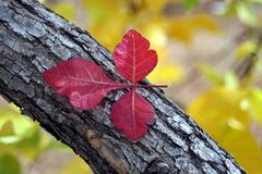 Red Leaves on a Branch. Three red leaves on a dark bark Stock Images
