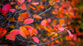 Red leaves on a branch Stock Image