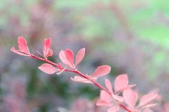 Red leaves on a branch. Autumn blossom. Close-up photo Royalty Free Stock Photos
