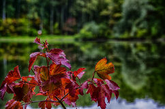 Red leaves. Branch with red leaves on a background of lake Stock Photo