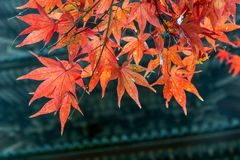 Red leaves on branch with background of Pagoda Royalty Free Stock Photography