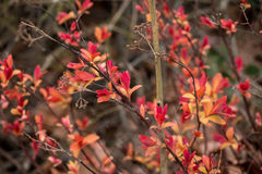 Red leaves branch. In garden royalty free stock photos