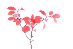 Red leaves on branch, isolated white background Royalty Free Stock Images
