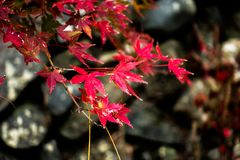 Red leaves on branch of maple in autumn season. Selective focus at the red leaves on branch of maple in autumn season on nature background at Arashiyama park in Stock Photography