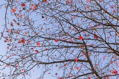Red Leaves Branches Tree Autumn Stock Photography