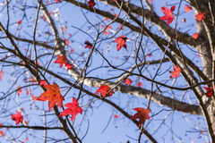 Red Leaves Branches Tree Royalty Free Stock Image