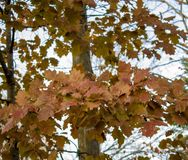 Red Leaves. Bright red autumn leaves royalty free stock photo