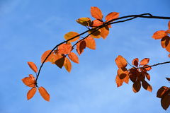 Red Leaves Brilliant Sky Royalty Free Stock Images