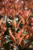 Red leaves of the bush. Young leaves on the brunch Royalty Free Stock Images