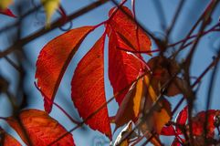 Red autumn leaves on bushes, in sunlight Stock Images