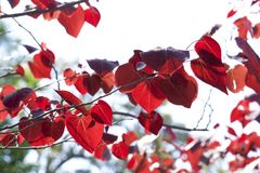 Red leaves of cercis canadensis. The young leaves of cercis canadensis are red and beautiful Stock Photo