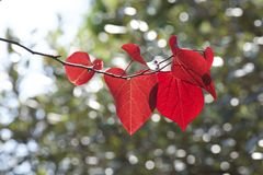 Red leaves of cercis canadensis. The young leaves of cercis canadensis are red and beautiful Stock Images