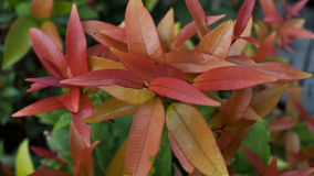 The Red Leaves of Christina Plant royalty free stock photography