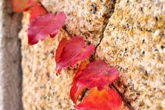 Red leaves. Climb in the wall Royalty Free Stock Images
