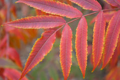 Red Leaves Royalty Free Stock Image
