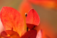 Red leaves. Royalty Free Stock Images