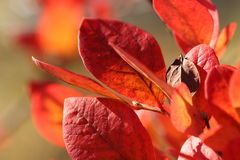 Red leaves. Royalty Free Stock Photography