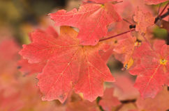 Red Leaves. Close-up of Red Fall leaves royalty free stock photography