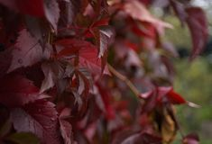 Red leaves close-up macro texture abstract light bokeh background outdoor garden. Plant royalty free stock image