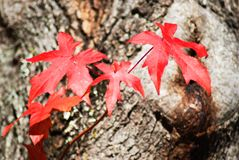 Red leaves. Closeup of view of red autumn leaves royalty free stock photos