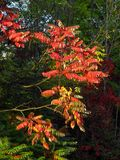 Red leaves in contrast with dark green trees Stock Images