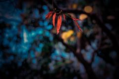 Red leaves. With cool background royalty free stock photo