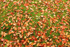 Red leaves cover green field Stock Image