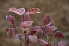 Red Leaves Covered with Frost Stock Images