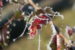 Red leaves covered with sparky ice crystals. In the sun Royalty Free Stock Photography