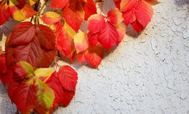 Red leaves Stock Photography