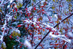 The red leaves covering snow Royalty Free Stock Photo