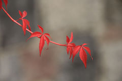 Red leaves. Red creeper on blurred background. Intriguing red plant in the foreground. Beautiful nature Stock Image