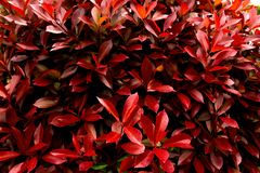 Natural red leaves texture for a background. Red leaves dark background,natural red leaves texture for a background royalty free stock photography