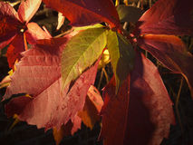 Red leaves in the darknes Royalty Free Stock Image
