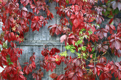Red leaves of decorative grapes Stock Image