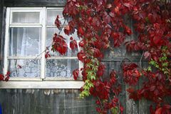 Red leaves of decorative grapes Stock Images