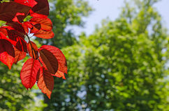Red leaves detail in a red leaved plum tree Royalty Free Stock Image
