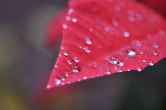 Red Leaves with Dewdrops Stock Photography