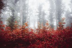 Red leaves in enchanted forest with fog Stock Images