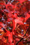 Red leaves at fall Stock Images