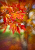 Red leaves in the fall Royalty Free Stock Photos