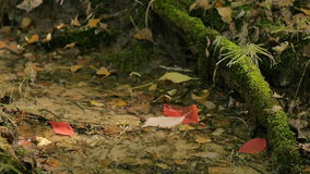 Red Leaves Falling In A Forest Stream stock footage