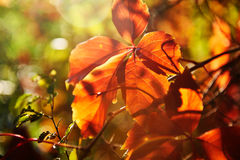 The red leaves of feature. The photo was taken in Shidai park Daqing city Heilongjiang province, China Stock Image