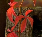 Red leaves on a fence. Red leaves on a wooden fence stock images