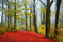 Red leaves in a foggy autumn forest. Red leaves in a foggy autumn day inside the forest royalty free stock photos