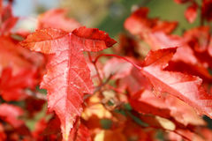 Red leaves Royalty Free Stock Photography