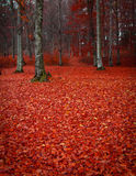 Red leaves forest Royalty Free Stock Photo