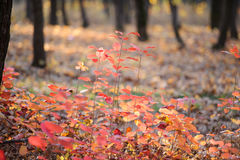 Red leaves in the forest. Bush red leaves in the forest Stock Photo